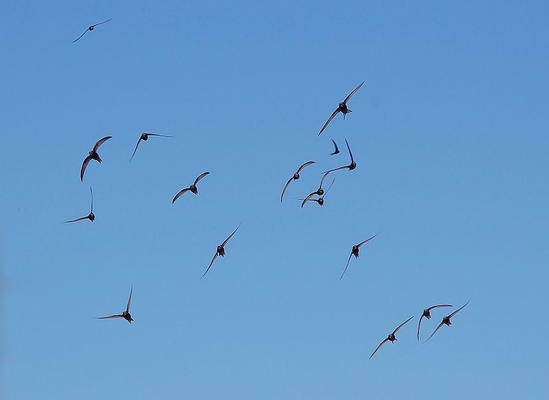 800px-apus_apus_flock_flying