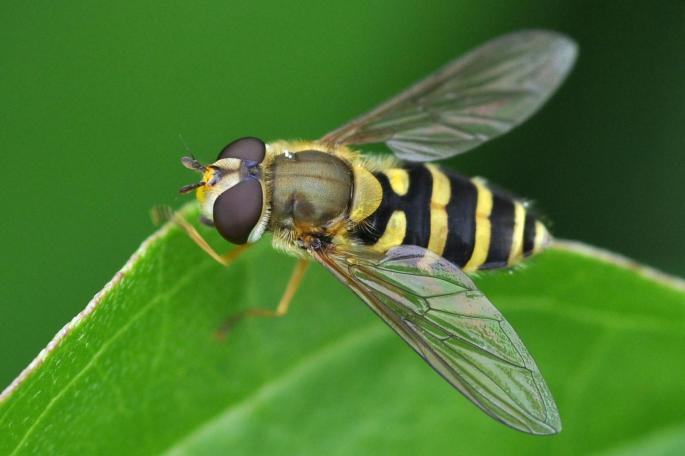 common banded hoverfly - syrphus ribesii