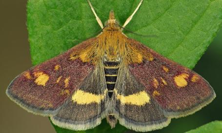 mint moth- Pyrausta aurata