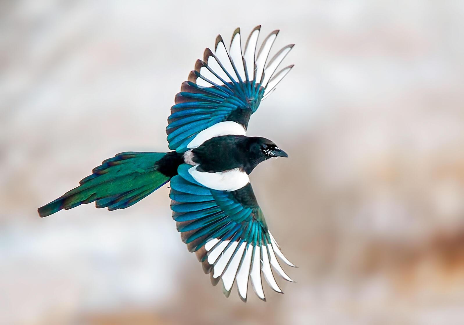 magpie black-billed-magpie